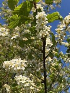 Cherry - Prunus Avium