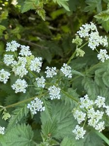 Cow Parsley - Anthriscus Sylvestris